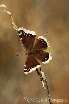 Mourning Cloak Butterfly 5x7 Fine Art Photography by CindiRessler