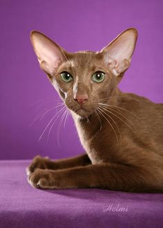 Absolutely beautiful cats on this page.and it tells what breed each one is. Oriental Shorthair Cats, Exotic Shorthair, Kittens Cutest, Cats And Kittens, Cute Cats, Kitty Cats, Devon Rex, Cornish Rex, Sphynx
