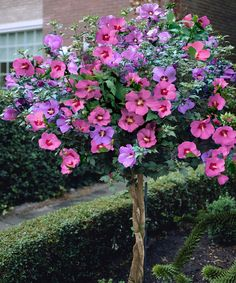 Lovely hibiscus Rose of Sharon tree. I must remember to create some twists like this with diff varieties. Rose Of Sharon Tree, Front Yard Design, Hibiscus Flowers, Purple Hibiscus, Trees And Shrubs, Dwarf Trees, Dwarf Flowering Trees, Dwarf Plants, Small Trees