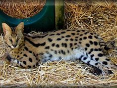 The Savannah Cat - $10,000