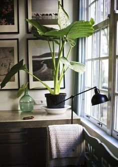 plants...(Alocasia 'Calidora') always love green bottles in the picture too