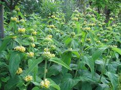 phlomis russeliana : LIEVESGARDEN- tuinblog/ Stond al in onze tuin en hebben we bewaard.