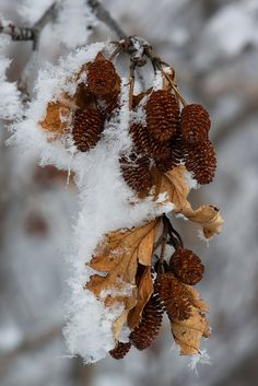 Alder Cones and Hoar Frost | Flickr - Photo Sharing!