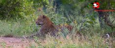 A nice sighting along the Sabie River, one of 4 seen on one day. Kruger National Park, National Parks, 23 November, Panther, River, Animals, Animales, Animaux, Panthers