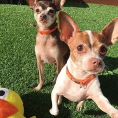 """SENIOR SUNDAY! @susiesseniordogs asks you to show these senior dogs some brotherly and sisterly love! """"Two little peanuts in a pod! Meet brother and sister Coco and Lila, ages 9 and 6 years old. They have been lingering at the city shelter in Palo Alto, CA for two whole months without any interest. They are sweet, loving, and friendly with other dogs, too. And we are stumped as to why they are stuck! A volunteer writes, """"Coco and Lila, smooth-coated Chihuahua mixes, were surrendered together…"""