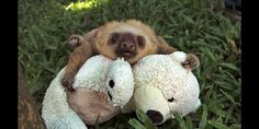 Sloth with a teddy bear (© Sloth Sanctuary of Costa Rica)