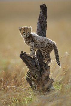 Cheetah (Acinonyx jubatus) portrait of a cub on a tree. Masai Mara National Reserve, Kenya, Africa