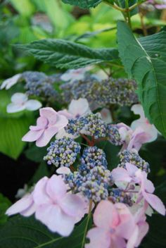 A personal favourite - Hydrangea 'Twist 'n' Shout! This one is located in the woodland display garden where it elicits gasps of surprise!
