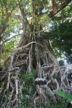 Impressive spiritual banyan tree close to Umejero