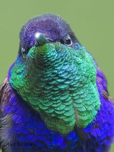 Violet-crowned male Woodnymph  #colors #birds