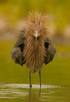 Ha ha... Looks like somebody got out of bed on the wrong side (permanently)! Reddish Egret - Pixdaus