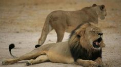 #интересное  Дантист-браконьер застрелил самого красивого льва Зимбабве (7 фото)   Лев Сесиль — настоящий любимец публики и главная достопримечательность национального парка Хванге — был застрелен американским дантистом-браконьером Уолтером Палмером. З�