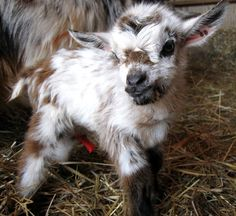 cutebabygoats | the buckling is very dark black a surprise as neither of his parents ...