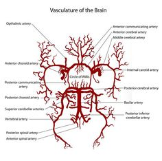 Vasculature of the brain for the visual learner!