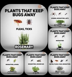 41 fragrant plants that repel mosquitoes 11 ~ vidur net Garden pests, Plants, Garden yard ideas, Bac Catnip Plant, Plant Bugs, Plants That Repel Bugs, Safe Plants For Cats, Poisonous Plants, Garden Yard Ideas, Lawn And Garden, Garden Projects, Garden Ideas For Small Spaces