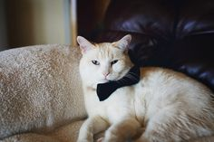 Very Important Cat in a Bowtie