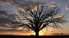 "Bur Oak, called ""The Big Tree"" Columbia, Missouri"
