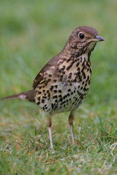 Song Thrush Pretty Birds, Beautiful Birds, Animals Beautiful, Woodland Critters, Woodland Animals, Song Thrush, Photo Graphy, British Garden, Garden Birds