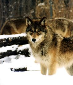 I would love to photograph the wolves. Please check out my website Thanks.  www.photopix.co.nz