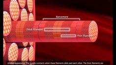 Muscle Contraction Process: Molecular Mechanism [3D Animation] (+playlist)
