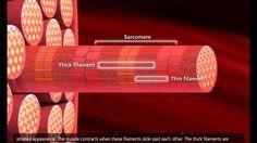 Muscle Contraction Process: Molecular Mechanism [3D Animation] (+playlist)