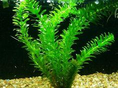 Hygrophila Angustifolia Potted Willow Hygro Freshwater Live Aquarium Plant Rare