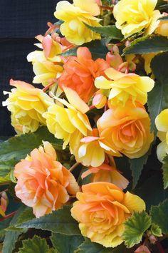 Begonia x Tuberhybrida 'Apricot Shades'