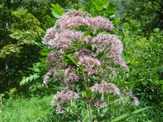 joe-pyle weed native ohio wildflower. great with grasses