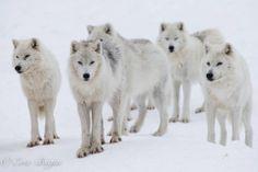 Arctic Wolves--Julie Lebel Photo