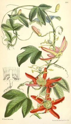 Curtiss Magazine 1849 Passion Flower Canvas Art - W Fitch x Vintage Prints, Vintage Botanical Prints, Botanical Drawings, Illustration Botanique, Plant Illustration, Flower Canvas Art, Flower Art, Botanical Flowers, Botanical Art