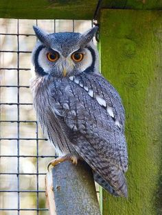 why does an owl bob his head - Picture Of An Owl