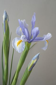 elegant sophisticated and so beautiful iris Iris Flowers, Clay Flowers, Bulb Flowers, Colorful Flowers, Planting Flowers, Most Beautiful Flowers, Beautiful Gardens, Cactus Flower, Blossom Flower