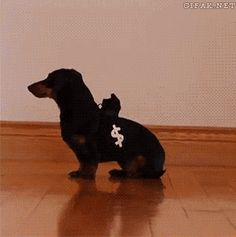 #Adorable little #dachshunds play #cops & #robbers! So flippin' #cute >w<