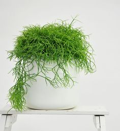 Rhipsalis (Mistletoe Cactus) - agaclar.net