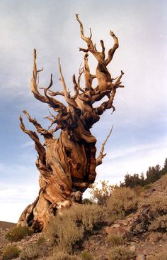 Oldest living tree, the Methuselah Tree. Methuselah is a Great Basin bristlecone pine tree growing high in the White Mountains of Inyo County in eastern California. All Nature, Nature Tree, Amazing Nature, Mother Earth, Mother Nature, Bristlecone Pine, Unique Trees, Old Trees, Tree Forest