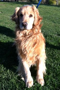This is Teddy - 5 yrs. He is an owner surrendervafter his family lost their home. He is is potty trained & has good house manners. Teddy was picked on by a male dog in his previous home & may do best with  female dogs. He is a gentle, calm, quiet boy looking for a forever home and is at Retrievers and Friends of Southern California.