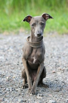 Italian Greyhound. I really want one of these! :)