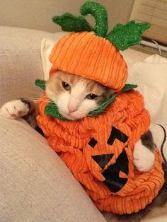 Kitty pumpkin #catsfunny #funnycats #lolcats