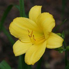 Hemerocallis 'Forsyth Lemon Drop'
