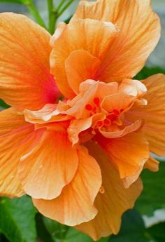 Hibiscus - like the more natural shape and love the color