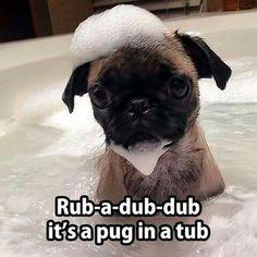 Rub-a-dub-dub it's a pug in a tub