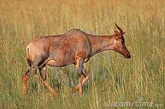 rare antelope | Rare tsessebe antelope (Damaliscus lunatus), South Africa.