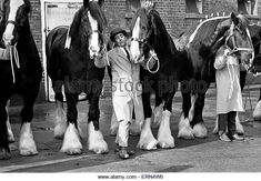 Young's Brewery Shire Horses, 12th February 1967