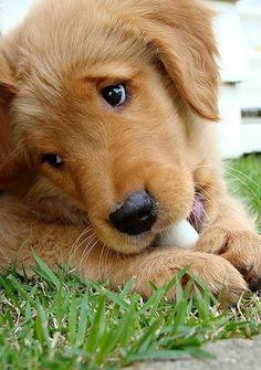 Golden #Puppy