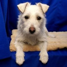 Frosty is an adoptable West Highland White Terrier Westie Dog in Fort Davis, TX. This West Highland Terrier will warm your heart! Frosty was named for his snow white coat, not his personality. He talk...