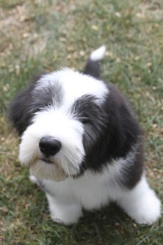 you looking at me?! Adorable Dogs, Cute Puppies, Dogs And Puppies, Bearded Collie Puppies, Huge Dogs, Sheep Dogs, Portuguese Water Dog, Happy Pictures, Fluffy Dogs