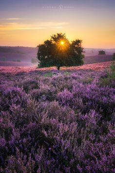 purpledream - The heath turns purple for a couple of weeks each year in the Netherlands. 'De Posbank' is one of the best places to witness it's beauty.  www.albertdros.com facebook: Albert Dros Photography