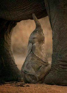 Elephants are the largest land mammals on Earth. Wild elephants can be found in … Elefanten sind die größten Landsäugetiere Cute Baby Animals, Animals And Pets, Funny Animals, Wild Animals, Asian Elephant, Elephant Love, Baby Elephants, Baby Elephant Walk, Elephant Pillow