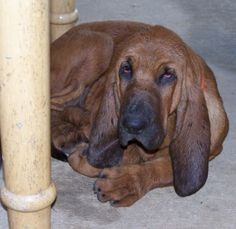 Spice, one of our female Bloodhounds.  Just beautiful!