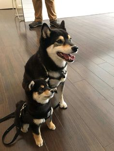 Many people first became familiar with the Shiba Inu from that 'Doge' meme that was everywhere for a while (very Shiba, much soft. Wow), but these lovable, memes gif memes memes animal memes child memes gif memes memes Cute Puppies, Cute Dogs, Dogs And Puppies, Shiba Inu Puppies, Shiba Inu Doge, Doggies, Shiba Puppy, Chien Akita Inu, Spitz Dogs